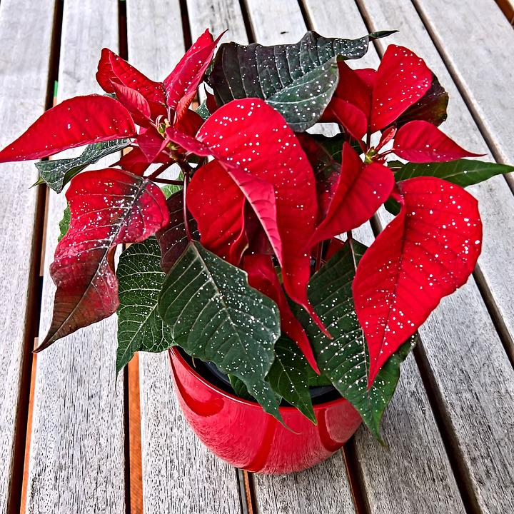 Plant, Poinsettia, Adventsstern, With Glittering