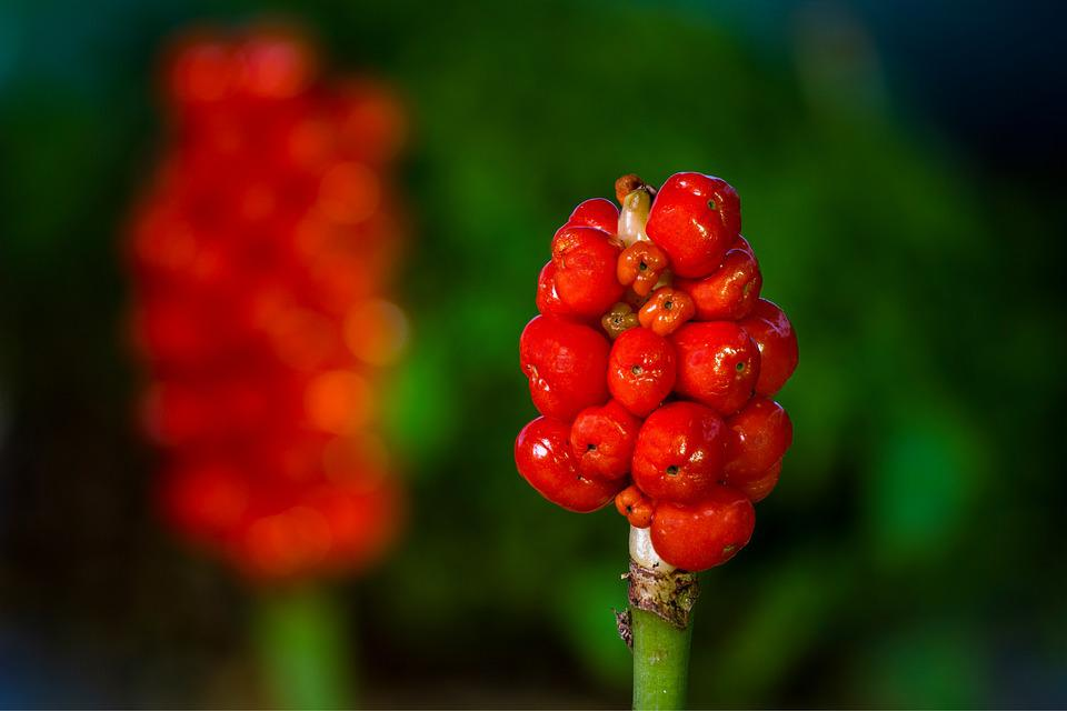 Aerosol, Infructescence, Poisonous Plant, Red