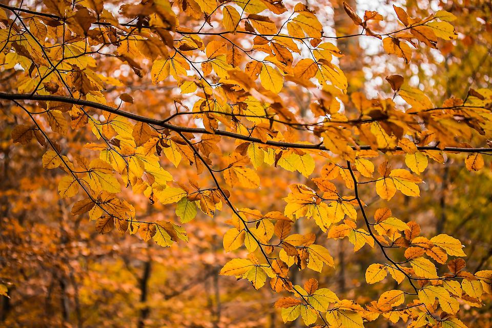 Aesthetic, Beech Branches, Branches, Leaves, Nature