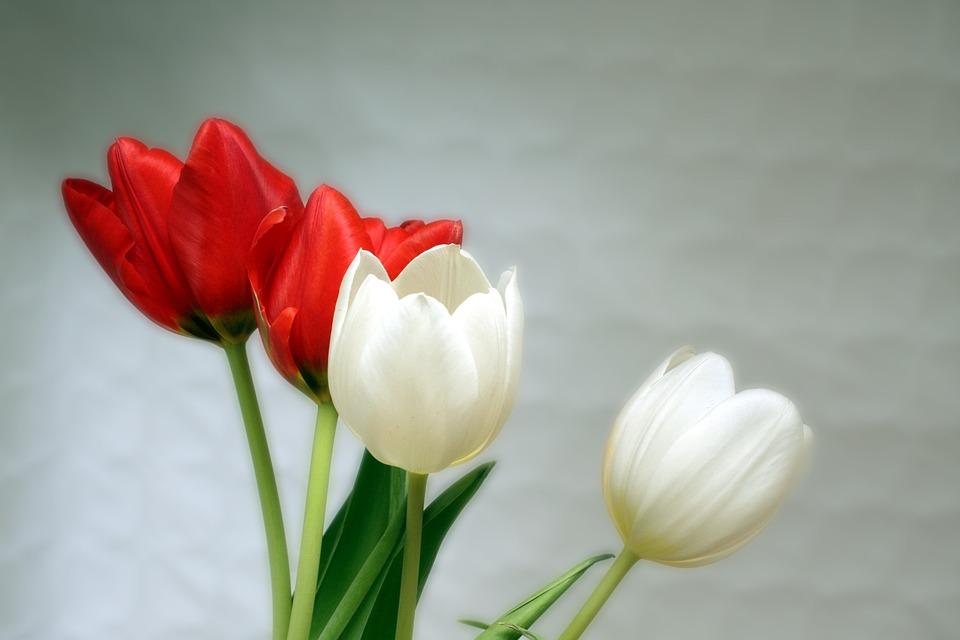 Tulips, Red, White, Spring, Aesthetics, Aesthetic