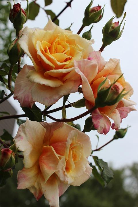 Roses, Love, Romantic, Feeling, Affection