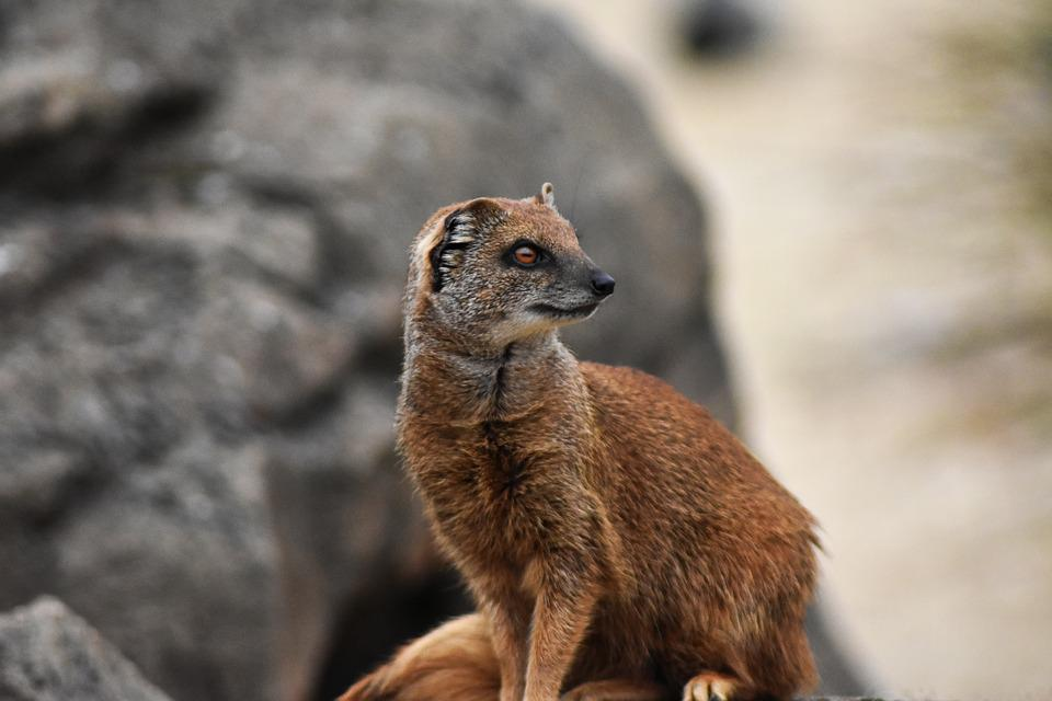 Mongoose, Africa, African, Animal, Brown, Carnivore
