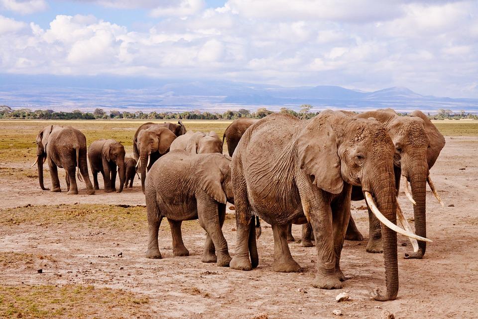 Elephants, Africa, Amboseli, Animal, Safari