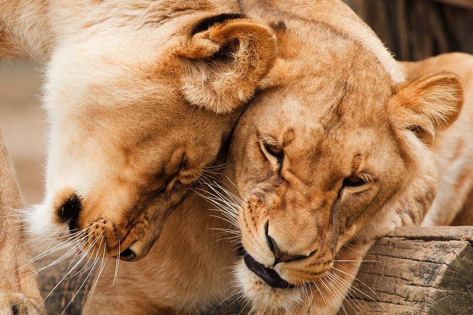 Africa, Animal, Big, Carnivore, Cat, Couple, Cuddle