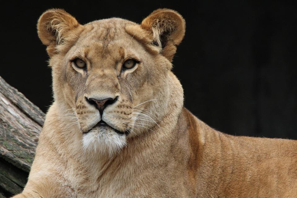 Lion, Panthera Leo, Lioness, Animal World, Africa