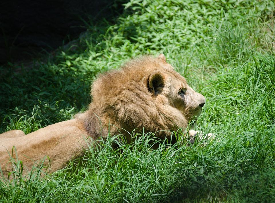 Lion, Zoo, Animal, Africa, Predator, Male, Dangerous