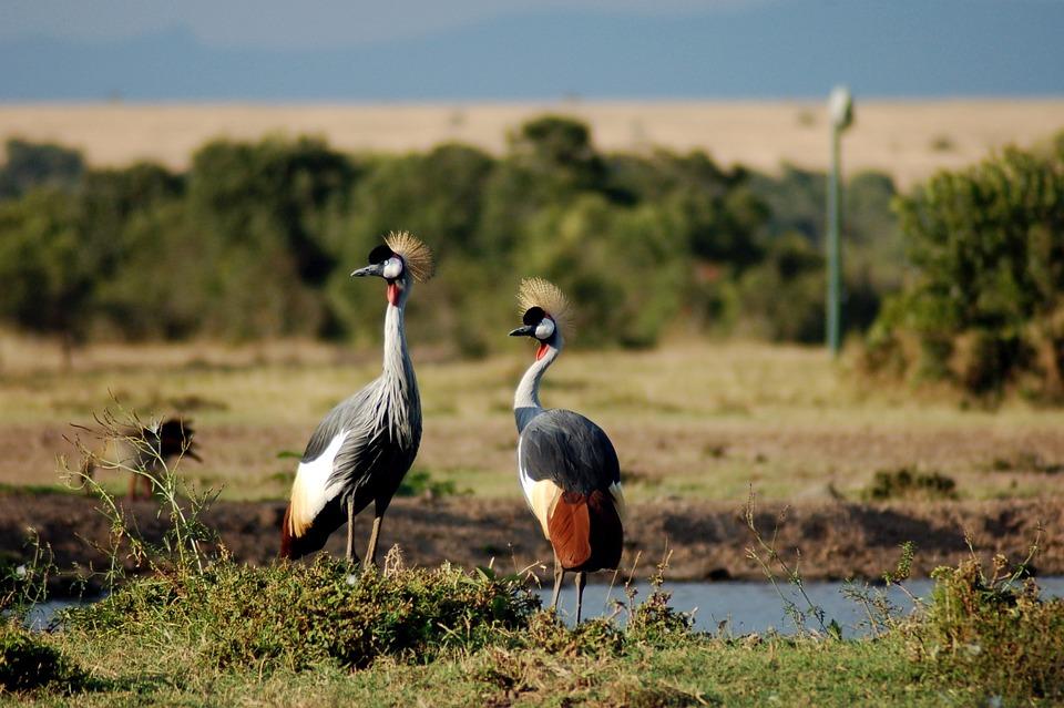 Crowned Crane, Africa Bird, Nature, Natural, Safari