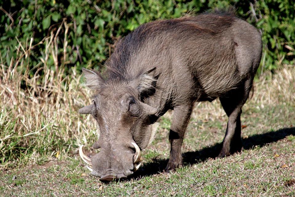 Warthog, Pig, Wildpig, Wildboar, Boar, Africa, Wild