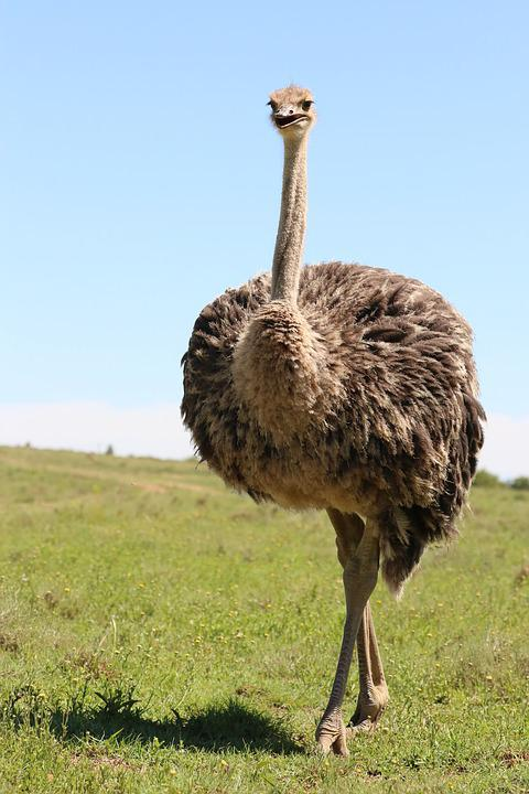 Bouquet, Africa, Bird, Flightless Bird, Ostrich Farm