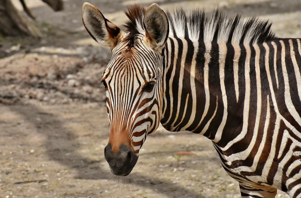 Zebra, Wild Animal, Zoo, Africa, Animal, Crosswalk