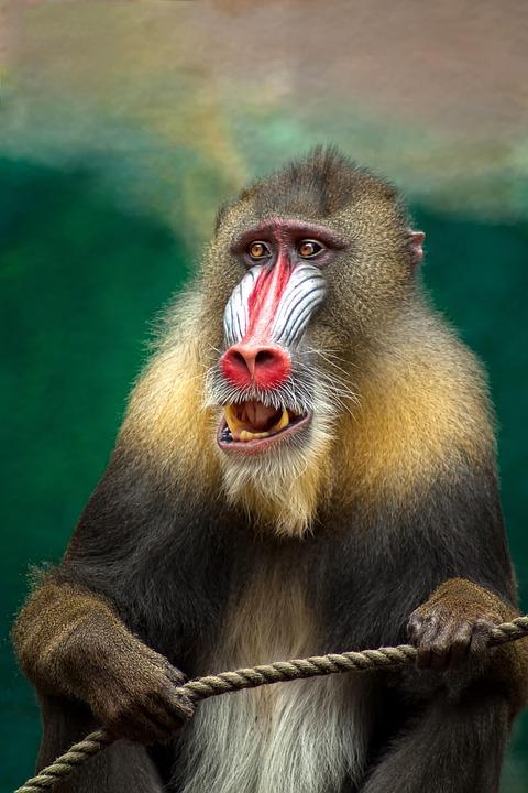 Monkey, Mandril, Africa, Baboon, Dangerous, Animal