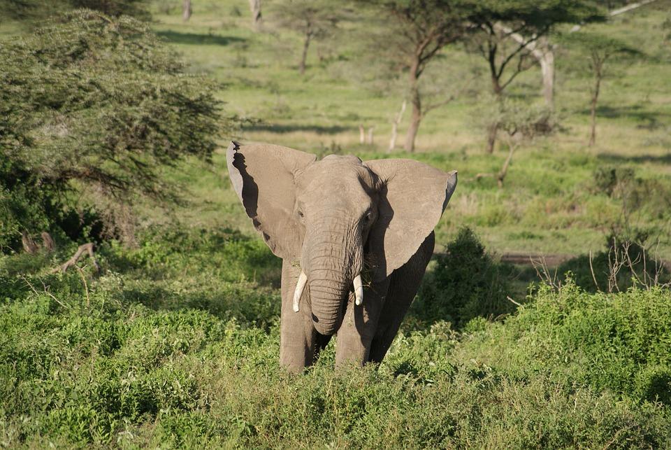 Elephant, Africa, Animal