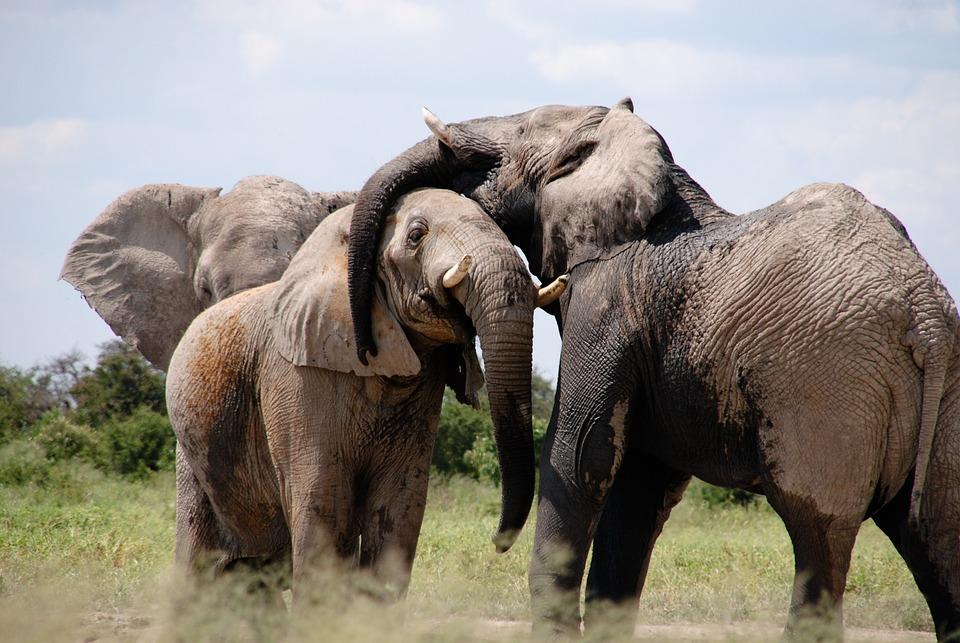 Africa, Elephant, Words, Animal, Savanna