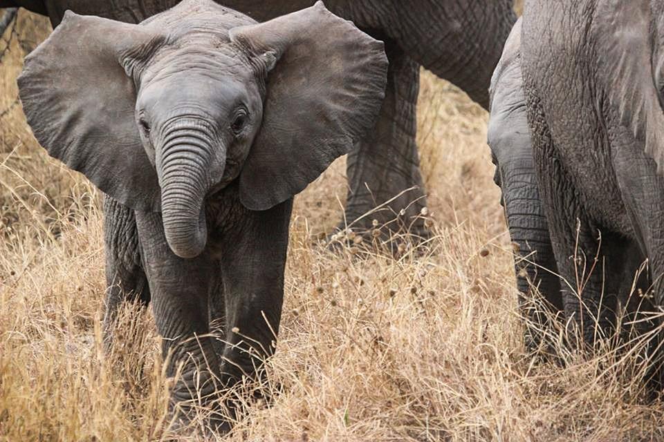 Elephants, Safari, Africa, Serengeti