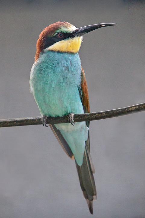 Bird, European Bee Eater, Africa, Color, Plumage