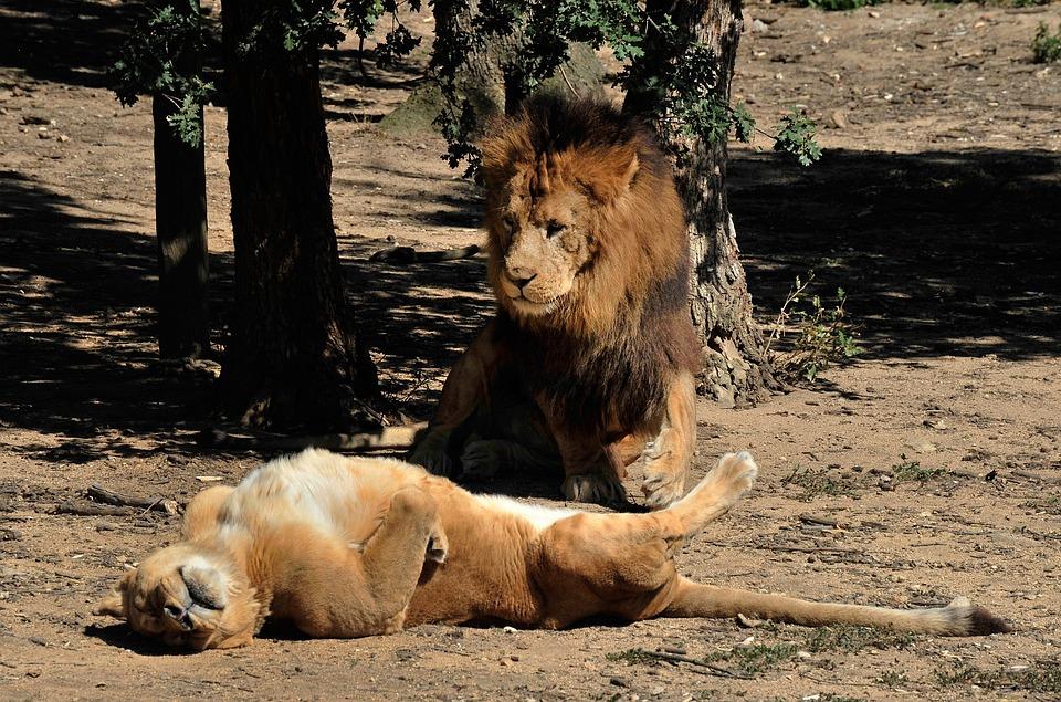 Lion, Lioness, Carnivore, Tawny, Félidé, Feline, Africa