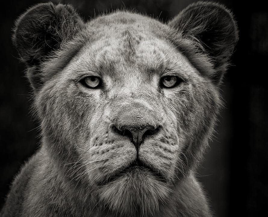 Lion, Animal, Africa, Mammal, Predator, Cat, Wild, Fur