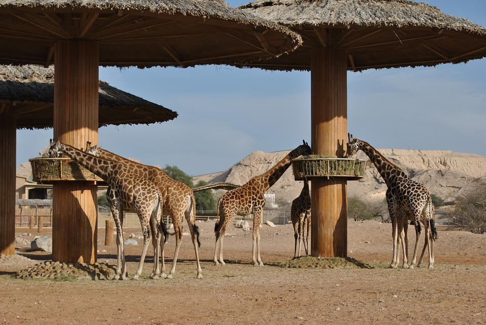 Giraffe, Safari, Africa, South Africa, Hair, Spotted