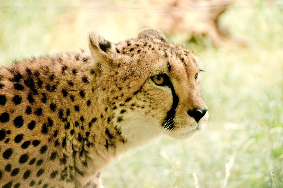 Cheetah, Africa, Kenya, Safari, Nature, Holiday