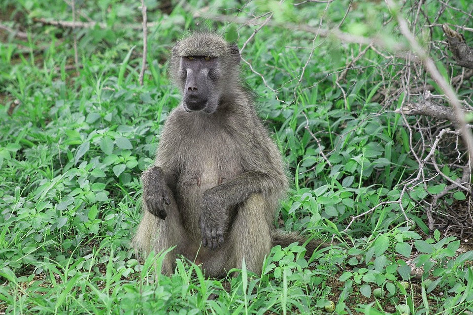 Africa, Baboon, Irritable, Kruger National Park