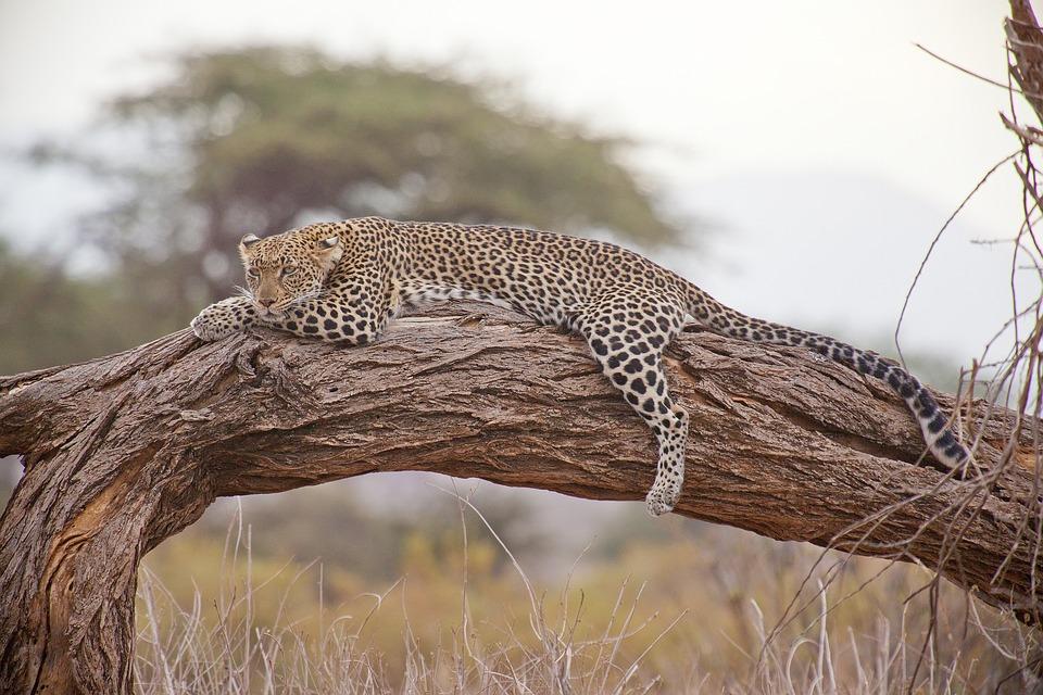 Leopard, Safari, Africa, Kenya