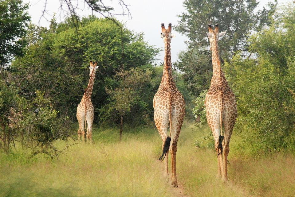 Running Giraffes, Large Animals, Group, Africa
