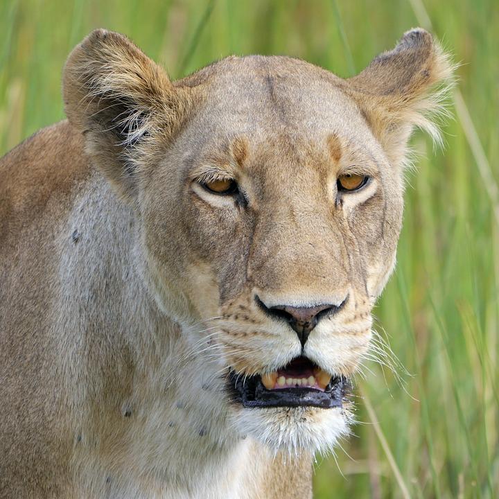 Lion, Safari, Lioness, Africa, Botswana