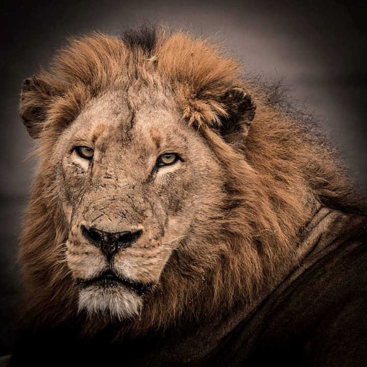 Wildlife, Lion, Male, Africa, Predator