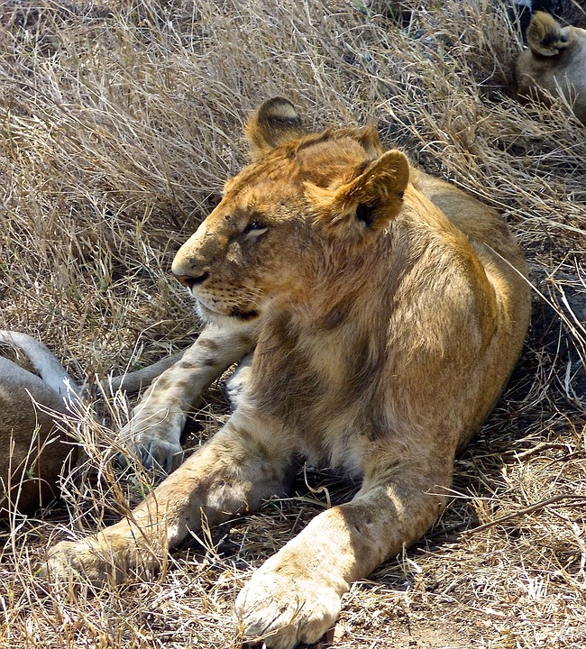 Lion, Safari, Africa, Wildlife, Wildcat
