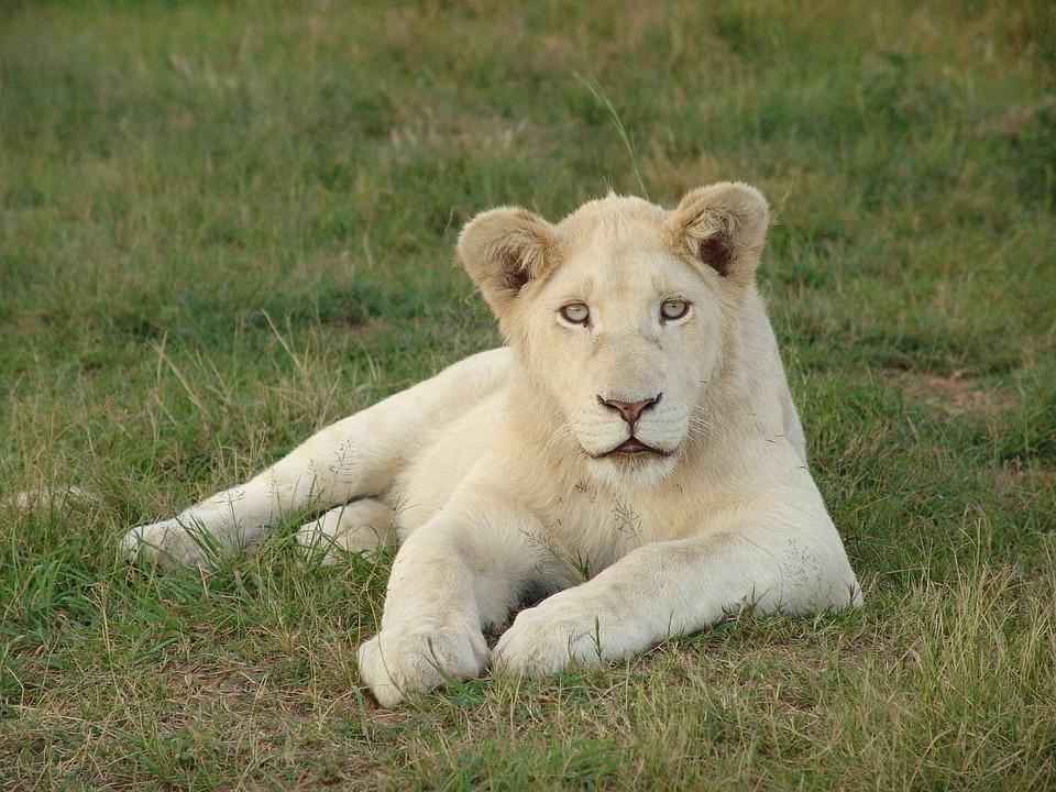 White Lion, White Lioness, Lion, Africa, Lioness