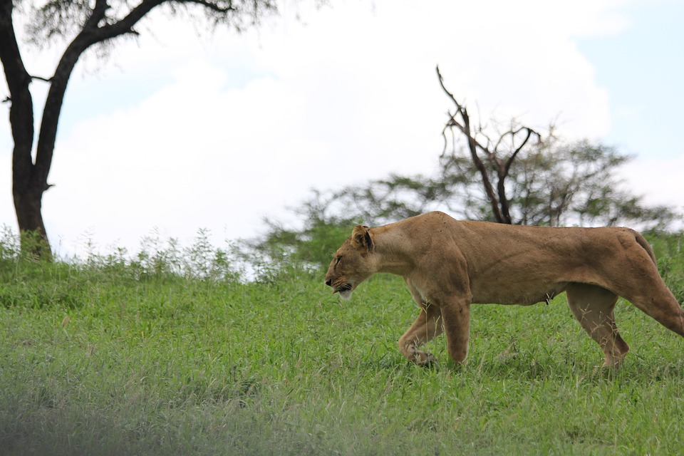 Africa, Tanzania, Tarangire, Lion, Lioness, Wild Animal