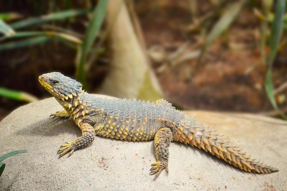 Sungazer Lizard, Lizard, Reptile, Wild, Africa, Nature