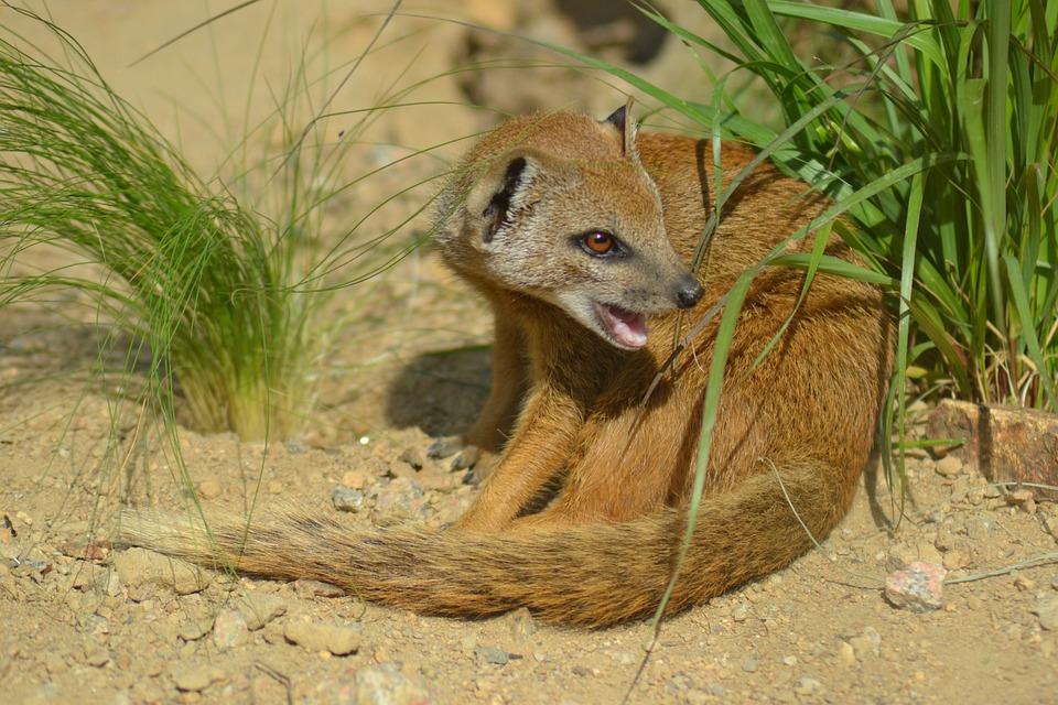 Yellow Mongoose, Cynictis Penicillata, Africa, Mammal