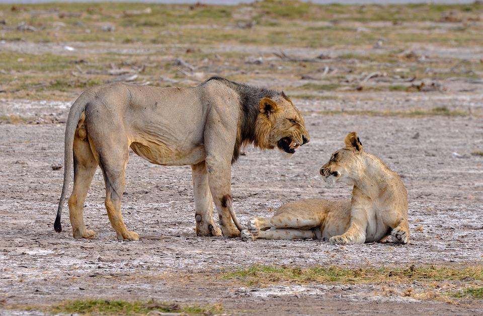 Lion, Lioness, Pride, Animal, Nature, Predator, Africa