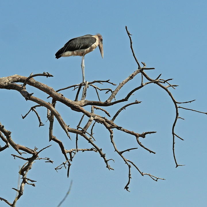 Marabu, Bird, Africa, Safari, Botswana, Okavango