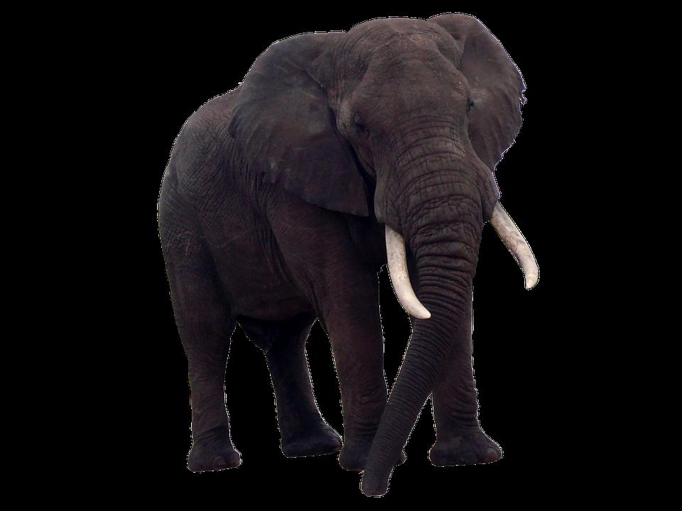 Elephant, Africa, Pachyderm