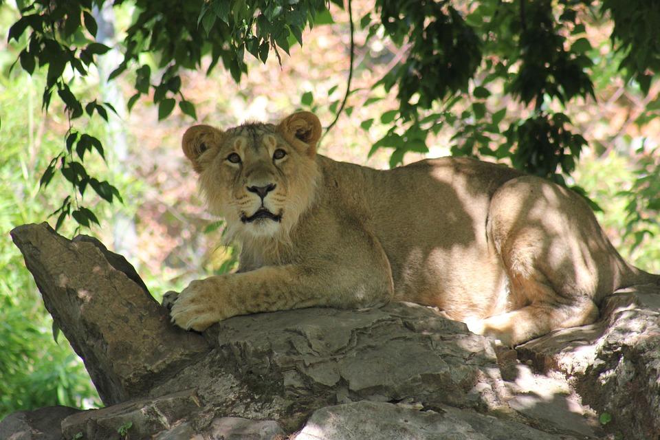 Lion, Animal World, Big Cat, Zoo, Africa, Portrait
