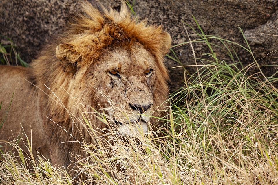 Lion, Animal, Predator, Africa, Safari, Wildlife, Wild