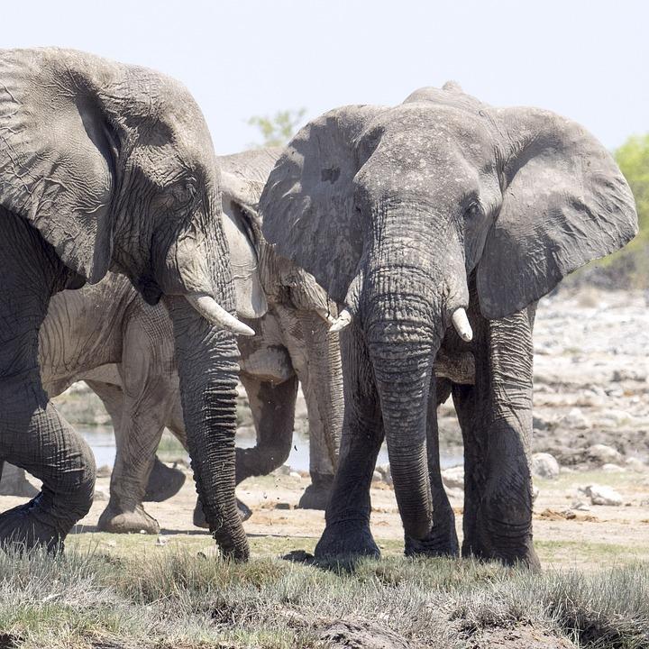 Elephant, Safari, Africa, African Bush Elephant