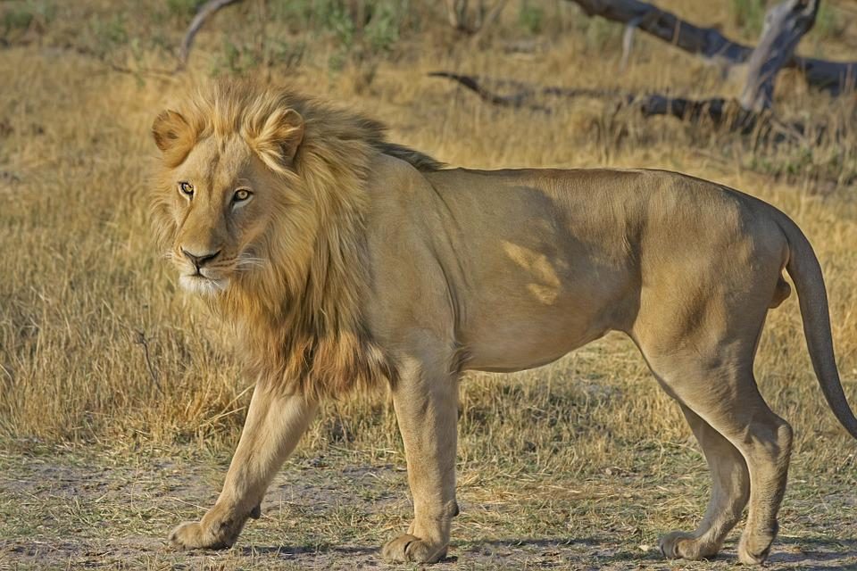 Lion, Wildcat, Safari, Africa, Animal World, Wildlife