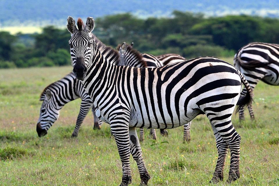 Animal, Africa, Savanna, Nature