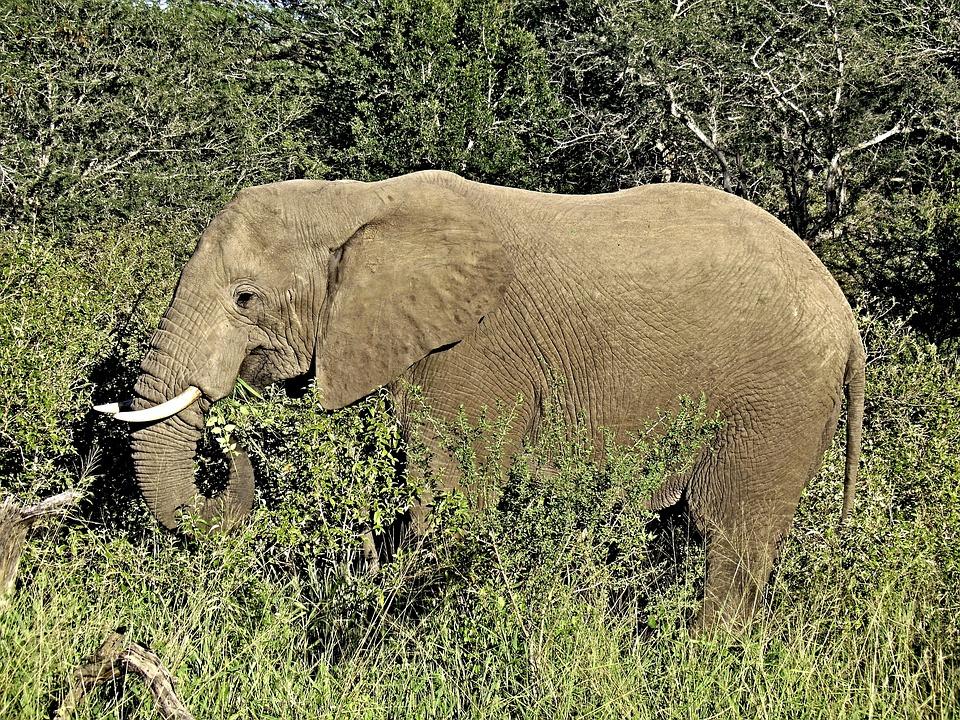 Elephant, Savannah, Africa, Safari