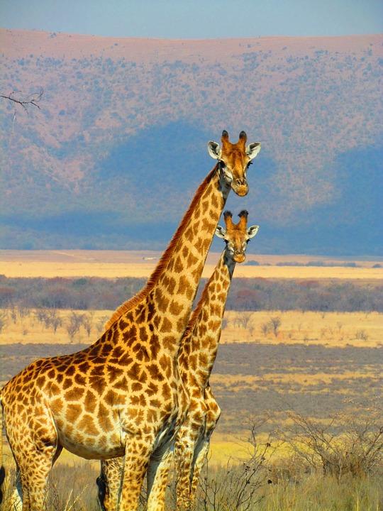 Giraffes, South Africa, Safari, Africa, Nature