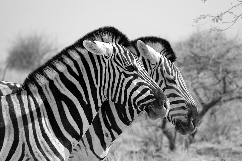 Zebra, Africa, Stripes