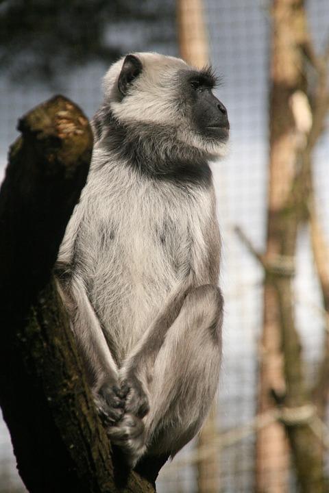 Monkey, Apenheul, Animal, Africa, Nice, Sweet, Grey