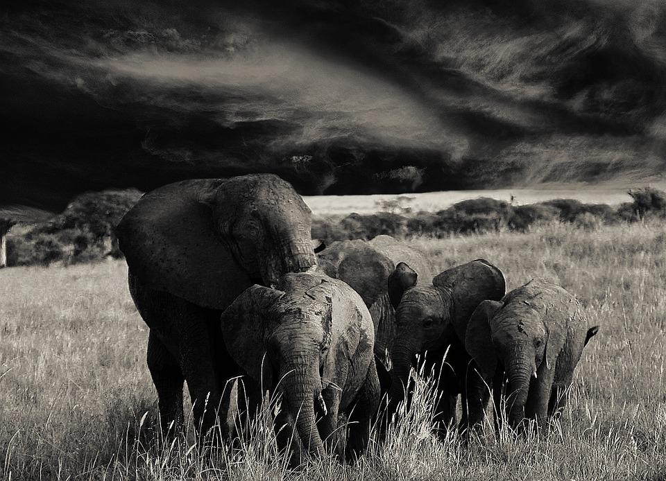 Elephant, Animals, Flock, Africa, Tanzania, Proboscis