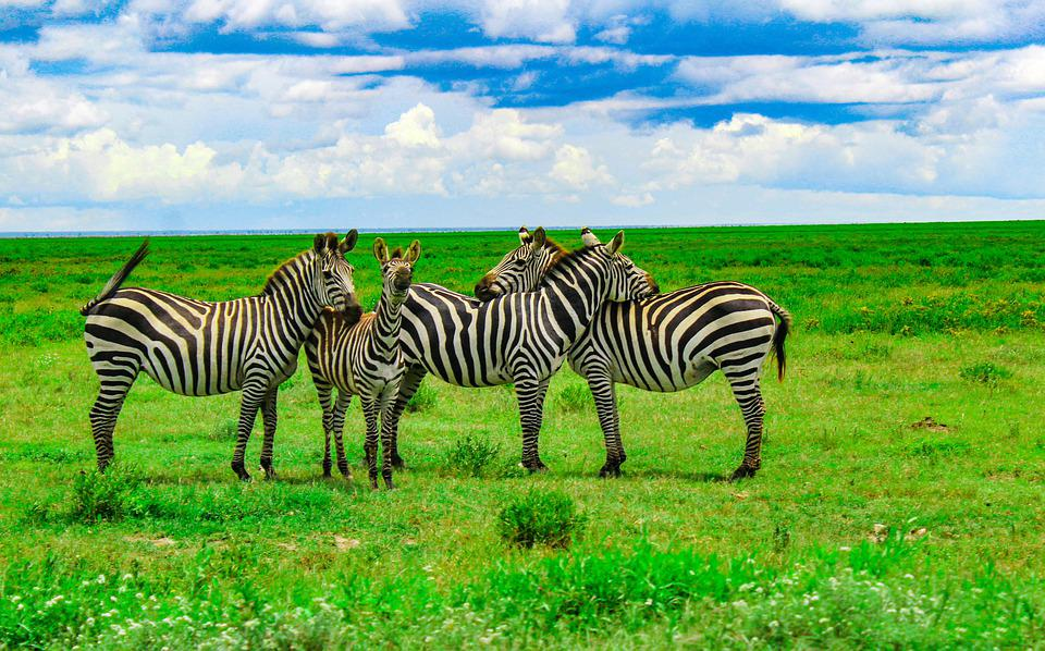 Serengeti, Africa, Tanzania, Safari, Wildlife, Mammal