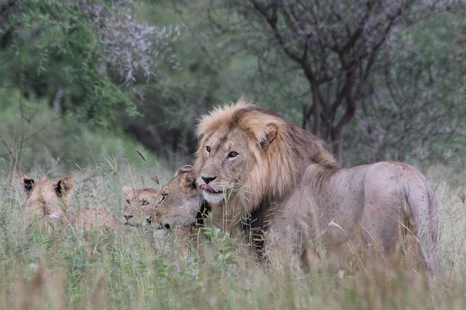 Lion, Africa, Tanzania, Tarangire, Wild Animal, Safari