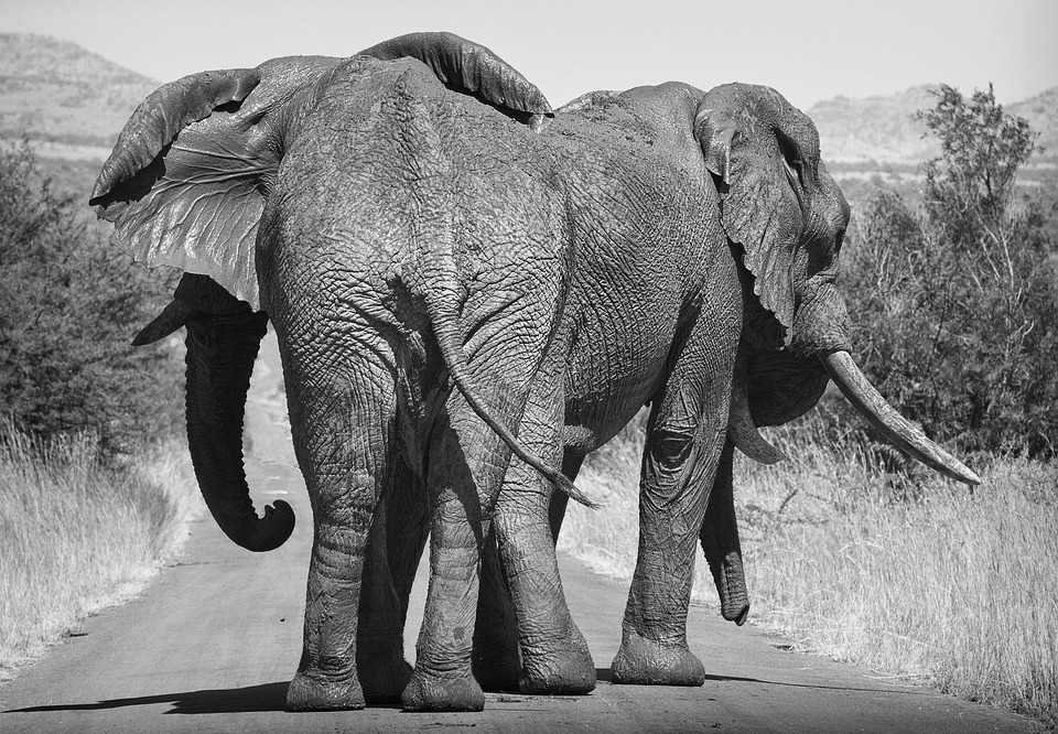 Elephant, Africa, Large, Wildlife, Safari, Trunk, Tusk