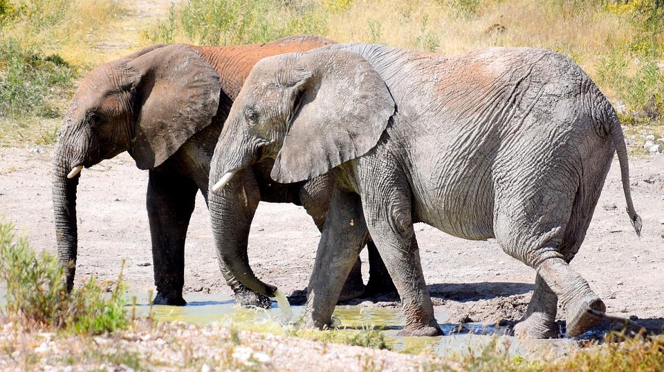 Elephant, Drinking, Waterhole, Etosha, Namibia, Africa